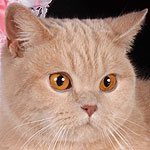 british cat SC DK*Hampton Court's Quality Choice. Owner Strokan Anna tel. +7-916-215-91-66