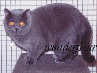 British Shorthair cats Wonderfleur*Ru Cattery.  Owner Strokan Anna tel. +7-916-215-91-66.