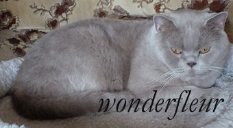 british cat ЕC Game of Nature Wonderfleur*Ru. Owner Strokan Anna tel.8-916-215-91-66