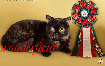 british cat  Europian Champion (FIFe) Perl Sunny Fackel.Owner  Strokan Anna tel.8-916-215-91-66